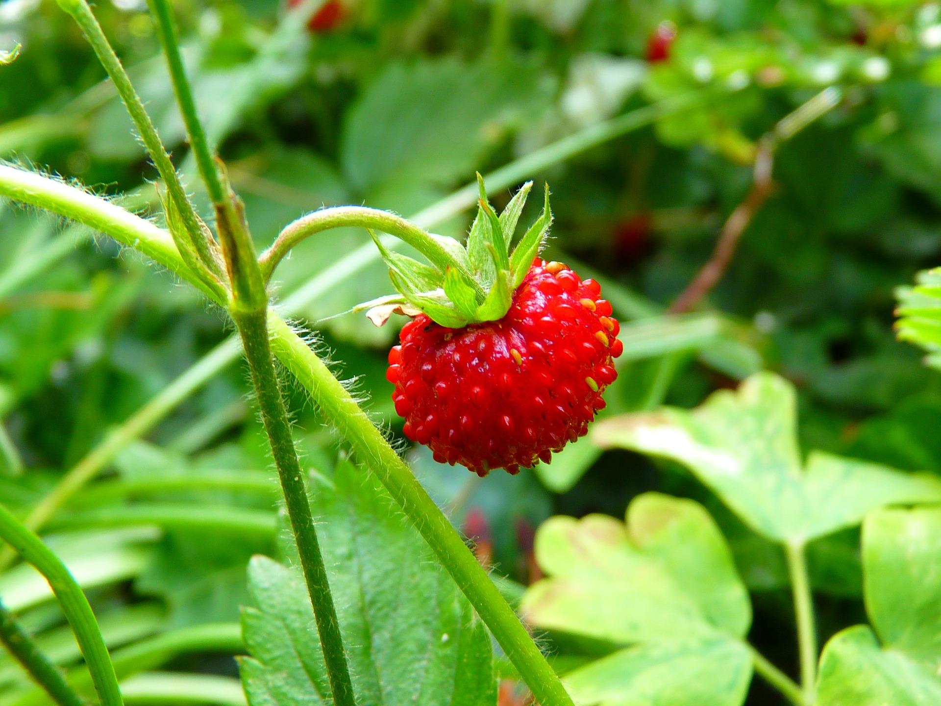 strawberry-7649_1920