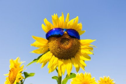 sunglasses-day-sunflower-2903287__340
