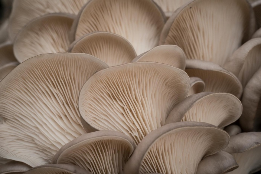 MB 01-09 - oyster mushrooms